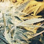 Best temperature and humidity levels to grow weed