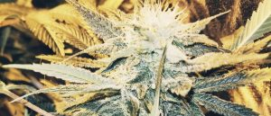 Learn how to build a grow room for marijuana.