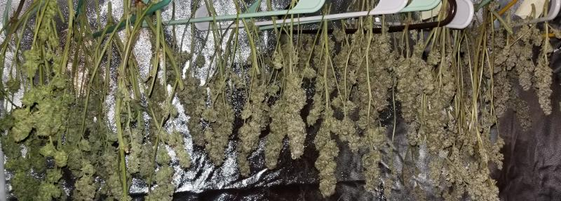 How to dry marijuana plants on coat hangers