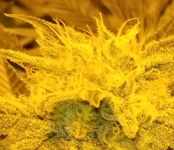 These pistils haven't curled back, its a bit too early to harvest if your plants look like this.