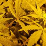 Getting started: how to grow marijuana indoors