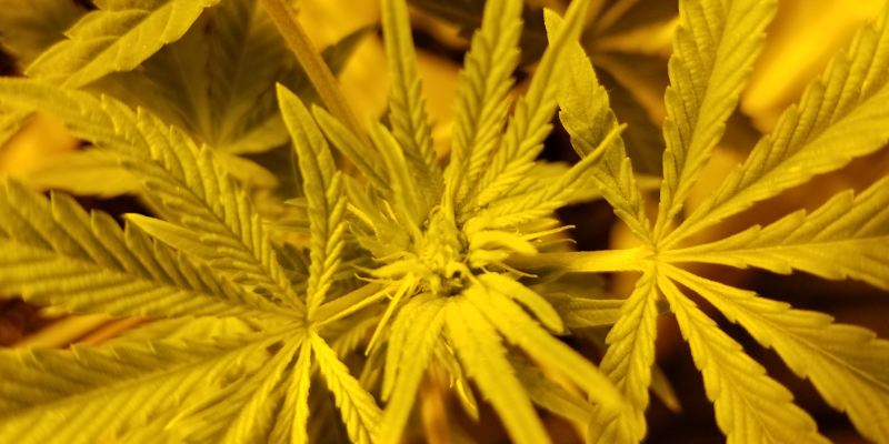 This weed plant is about one and a half weeks into the flowering cycle, the marijuana flowers are just starting to form.