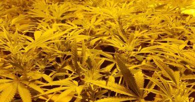 Marijuana flowering in a screen of green setup