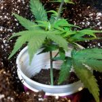 How to transplant weed clones into coco coir