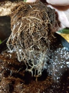 Gently loosen the roots of your marijuana clones before transplanting. Try to spread the roots out within the new container before backfilling the coco/perlite mixture.