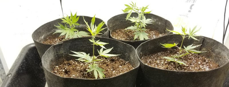 After you have transplanted your weed plants into their new coco coir containers, your plants are ready to go under an 18-hour-on, 6-hour-off light cycle during the vegetative stage.