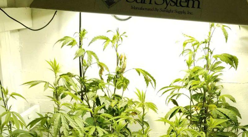 Marijuana grow lights - the best grow light for weed